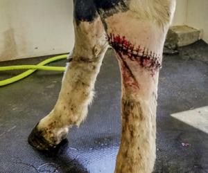 Emergency Laceration on Hind Leg